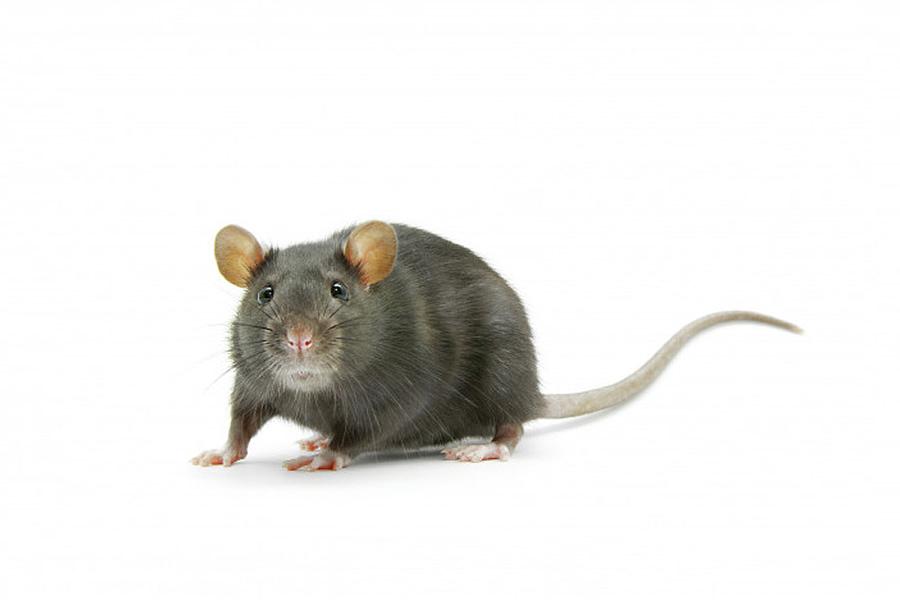 Rat Rodent Control Services in Karachi