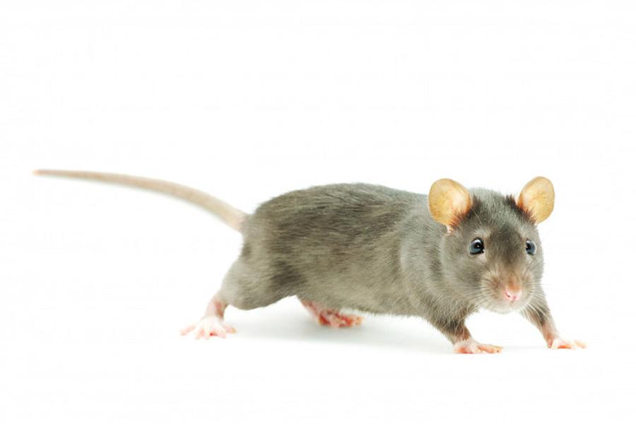 Rat rodent elemintaion services
